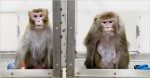 Rhesus monkeys on CR